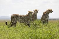 Leones de Africa